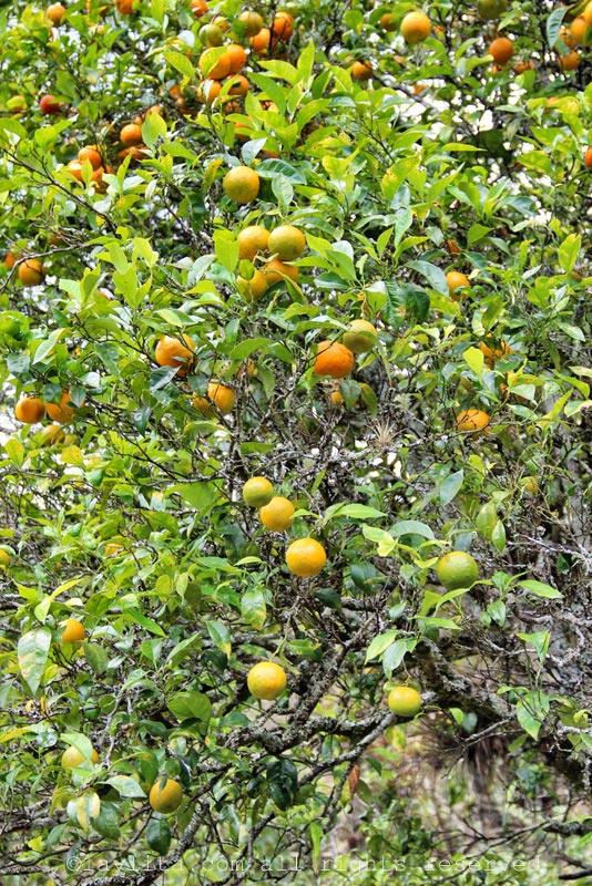 在厄瓜多尔的酸橙或Naranja agria